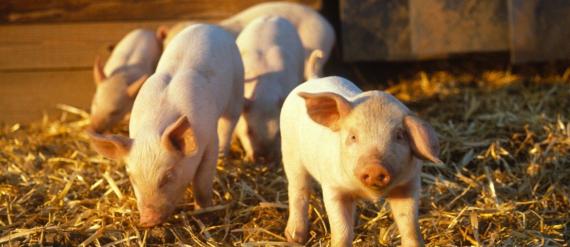 Preço do quilo do suíno aumenta 20 centavos, confirma Cooper Central Aurora